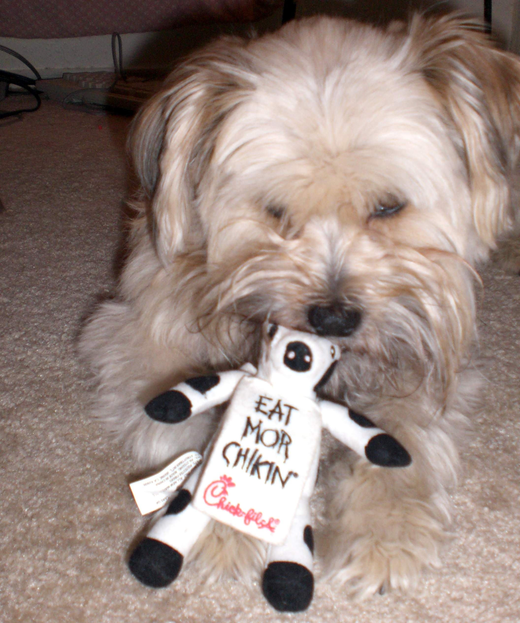 Life Is Merrier With A Tibetan Terrier Marketing Where