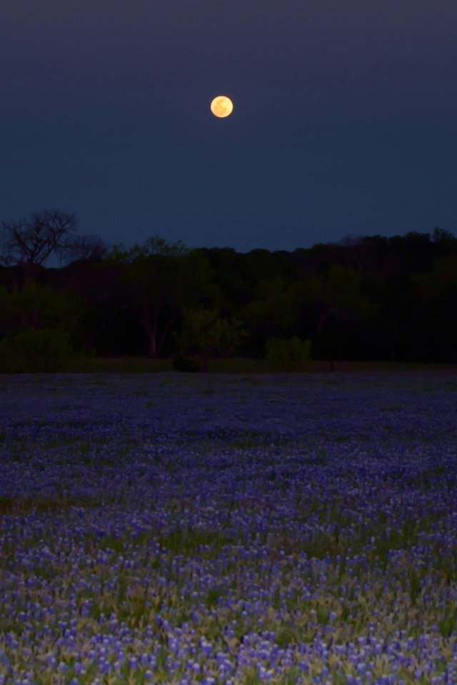 Full Moon Over Bluebonets 2014